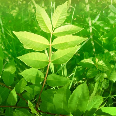 Common Poisonous Plants