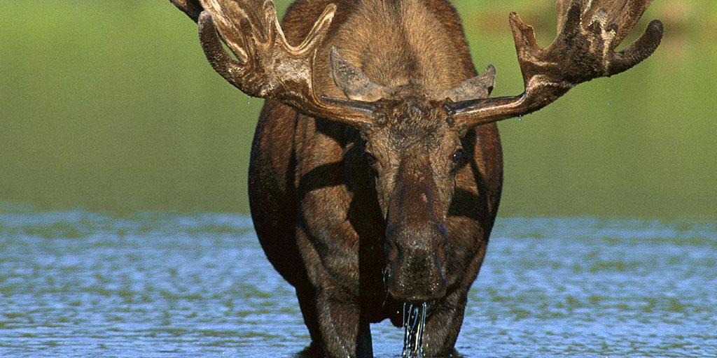 Tahquamenon State Park Moose