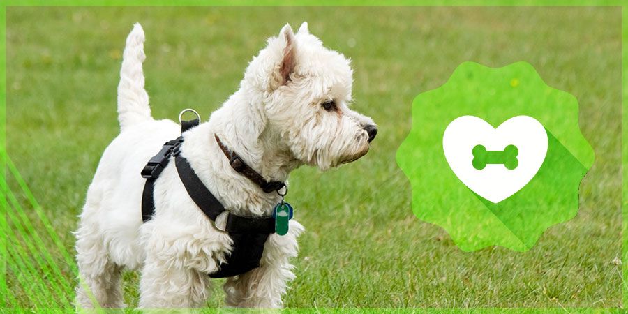 Westie Harness Safety