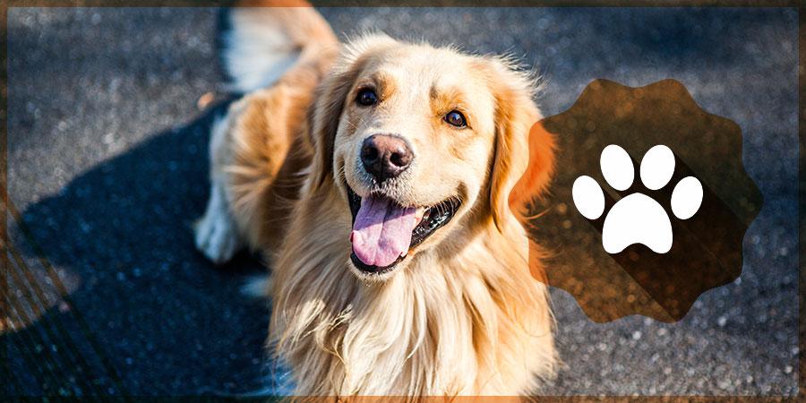 Golden Retriever Pet Friendly Campgrounds