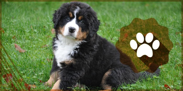 Bernese Mountain Dog Pup Routine