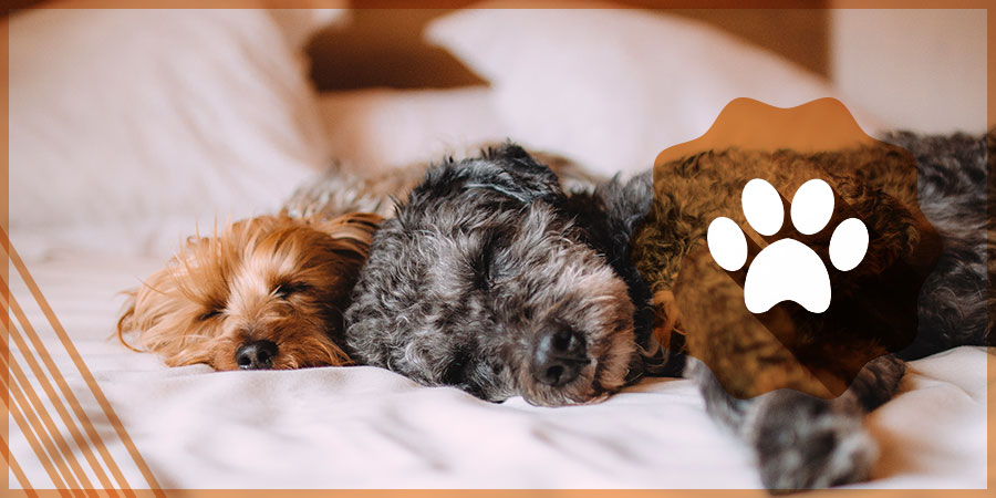 Yorkie and Poodle Sleeping