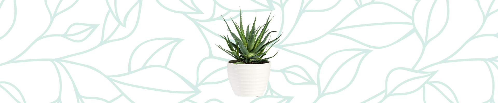 Indoor plants that improve your air quality: Aloe Vera