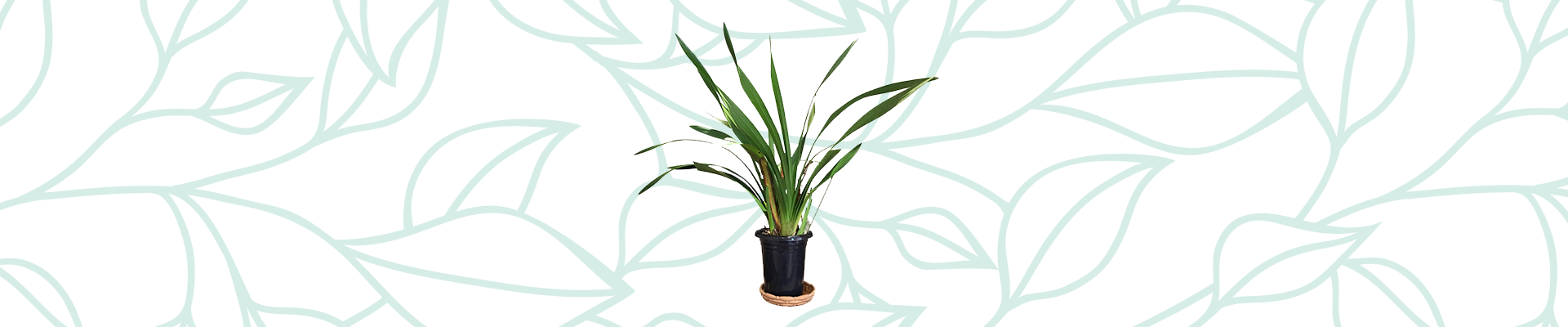 Indoor plants that improve your air quality: Chinese Evergreen
