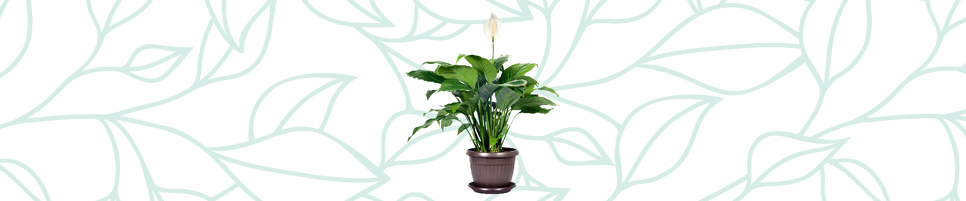 Indoor plants that improve your air quality: Peace Lily