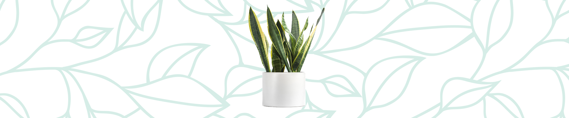 Indoor plants that improve your air quality: Snake Plant