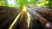 Looking Up The Trees And To The Sun At National Redwood Forest In California