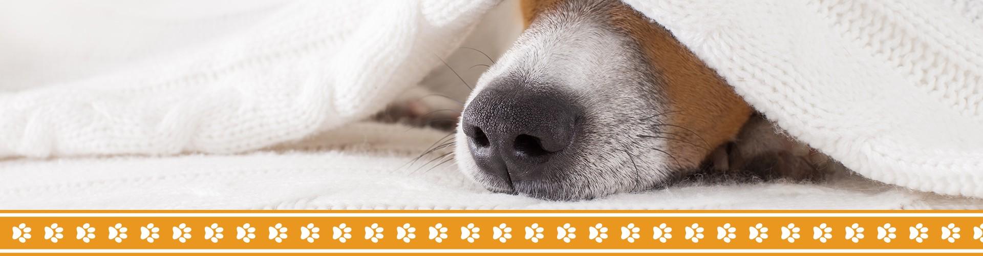 Dog hiding under the blankets