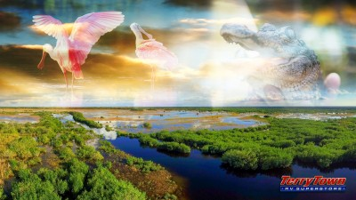 Roseate spoonbills and baby alligators in the Florida Everglades