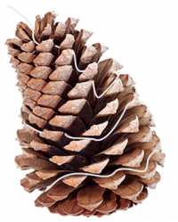 How to make pinecone fire starters: step 2 - string the candle wick around the pinecone.
