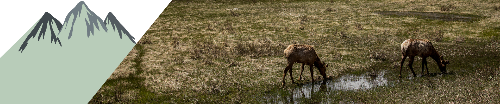Elk in the Rocky Mountain National Park.