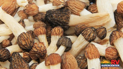 Morel Mushroom Hunting Feature