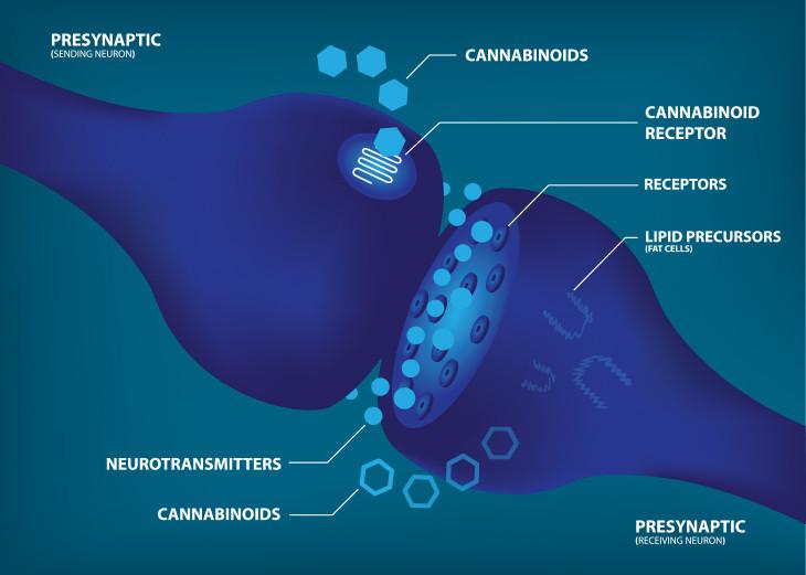 endocannabinoid receptor