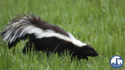 "How to ""de-skunk"" your dog or cat"